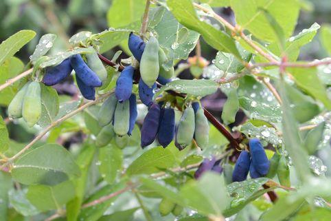 Honigbeere / Sibirische Blaubeere 'Morena' - Lonicera kamtschatica 'Morena'