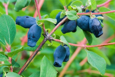Honigbeere / Sibirische Blaubeere 'Myberry ® Bee' - Lonicera kamtschatica 'Myberry ® Bee'
