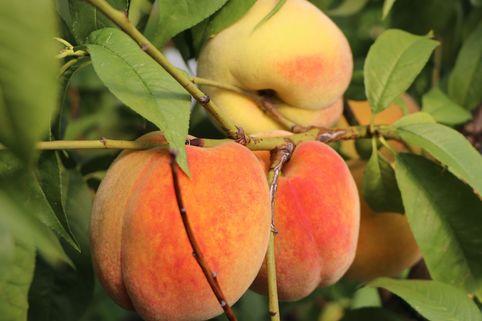 Honigpfirsich 'Honeysun' ® - Prunus persica 'Honeysun' ®