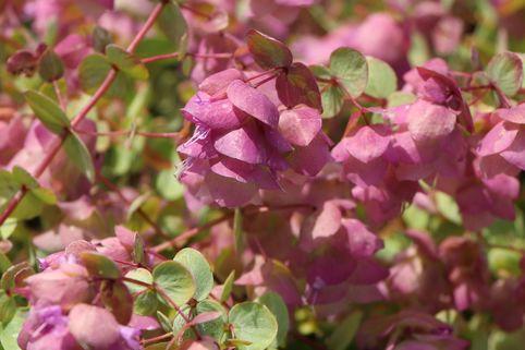 Hopfen-Dost 'Kent Beauty' - Origanum rotundifolium 'Kent Beauty'