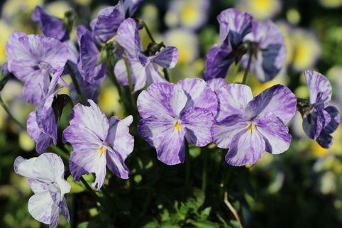 Horn-Veilchen 'Columbine' - Viola cornuta 'Columbine'
