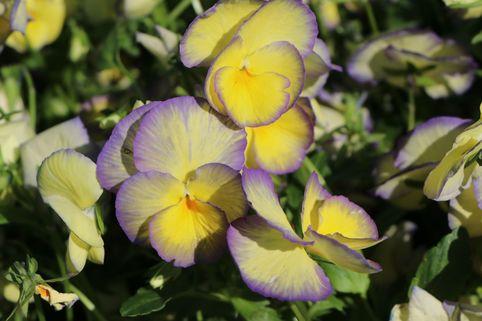 Horn Veilchen 'Etain' - Viola cornuta 'Etain'