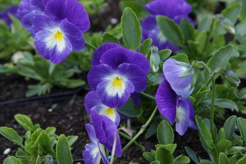 Horn Veilchen 'Janet' - Viola cornuta 'Janet'