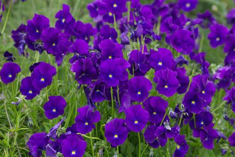 Horn Veilchen 'Martin' - Viola cornuta 'Martin'