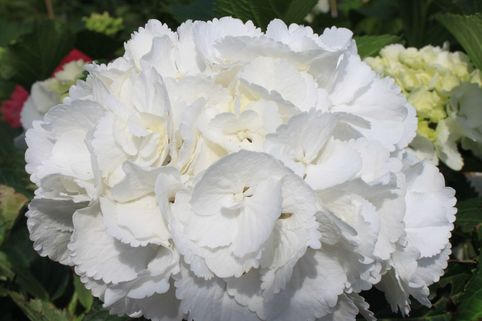 Ballhortensie 'Schneeball' ® - Hydrangea macrophylla 'Schneeball' ®