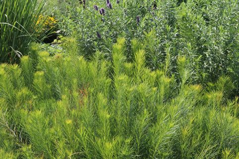 Hubrichts Röhrenstern / Blausternbusch - Amsonia hubrichtii