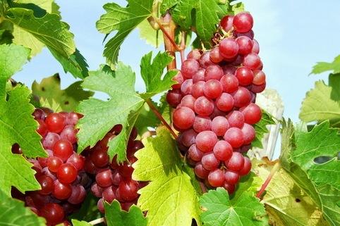 Weintraube 'Rhea' ® - Vitis 'Rhea' ®