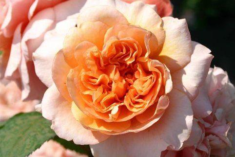 Guillot Rose 'Versigny' ® - Rosa 'Versigny' ®