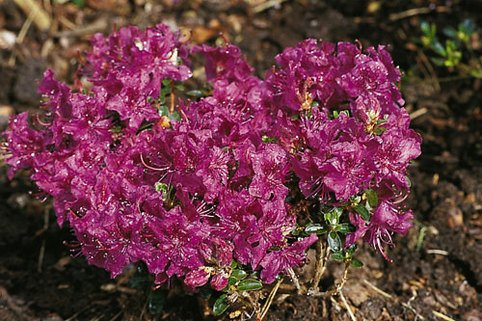 Rhododendron 'W. W. Smith' - Rhododendron prostratum 'W. W. Smith'