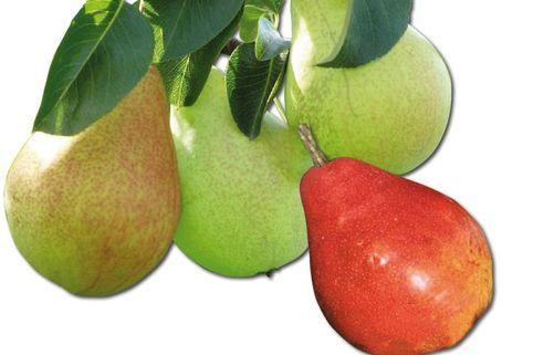 Familienbaum Birne - 3 verschiedene Sorten - z. B. 'Sommer-, Herbst-, Winterbirne'