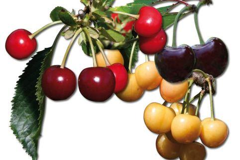 Familienbaum Kirsche - 3 verschiedene Sorten - z. B. 'rote, rotbraune bis schwarze Kirschen'