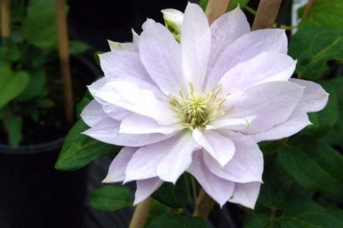 Clematis 'Dancing Queen' - Clematis 'Dancing Queen'
