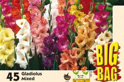 Gladiolus 'Mix' - Pegasus