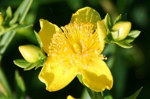 Johanniskraut 'Gemo' - Hypericum densiflorum 'Gemo'