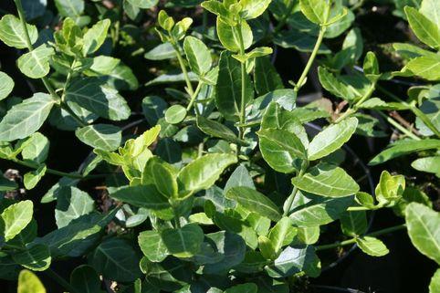 Immergrüne Kriechspindel - Euonymus fortunei var. radicans