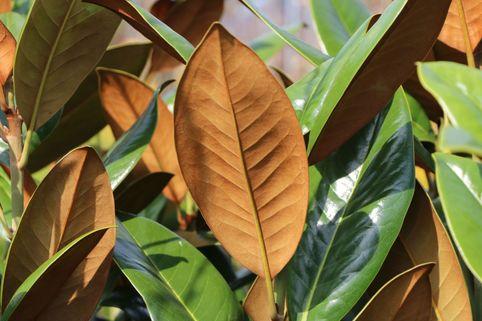 Immergrüne Magnolie 'Exmouth' - Magnolia grandiflora 'Exmouth'