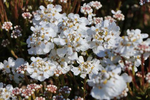 Immergrüne Schleifenblume 'Fischbeck' - Iberis sempervirens 'Fischbeck'