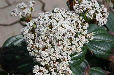 Immergrüner Kissen-Schneeball - Viburnum davidii
