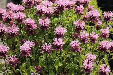 Indianernessel 'Beauty of Cobham' - Monarda fistulosa 'Beauty of Cobham'