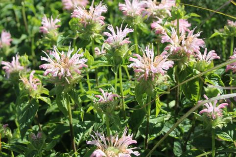 Indianernessel 'Fishes' - Monarda fistulosa 'Fishes'