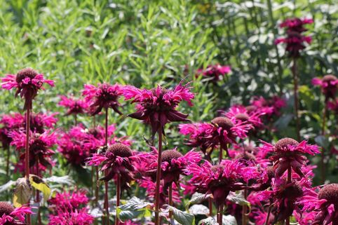 Indianernessel 'On Parade' - Monarda fistulosa 'On Parade'