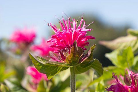 Indianernessel 'Pink Lace' - Monarda fistulosa 'Pink Lace'