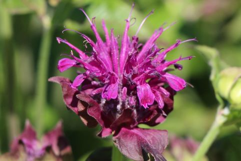 Indianernessel 'Saxon Purple' - Monarda fistulosa 'Saxon Purple'