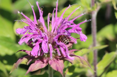 Indianernessel 'Violet Queen' - Monarda fistulosa 'Violet Queen'