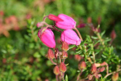 Irische Heide 'Cupido' - Daboecia cantabrica 'Cupido'