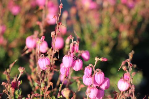Irische Heide 'Rosella' - Daboecia cantabrica 'Rosella'