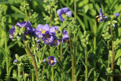 Jakobsleiter 'Bambino Blue' - Polemonium caeruleum 'Bambino Blue'