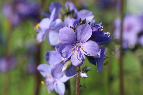Jakobsleiter 'Purple Rain' - Polemonium yezoense 'Purple Rain'