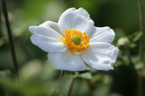 Japan-Herbst-Anemone 'Honorine Jobert' - Anemone japonica 'Honorine Jobert'