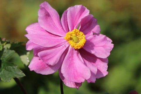 Japan-Herbst-Anemone 'Königin Charlotte' - Anemone japonica 'Königin Charlotte'
