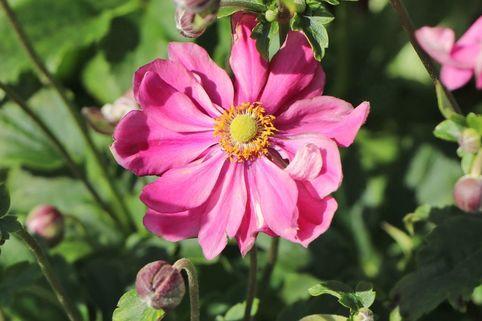 Japan-Herbst-Anemone 'Prinz Heinrich' - Anemone japonica 'Prinz Heinrich'