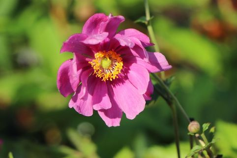 Japan-Herbst-Anemone 'Rotkäppchen' - Anemone japonica 'Rotkäppchen'