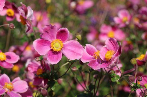Japan-Herbst-Anemone 'Splendens' - Anemone hupehensis 'Splendens'