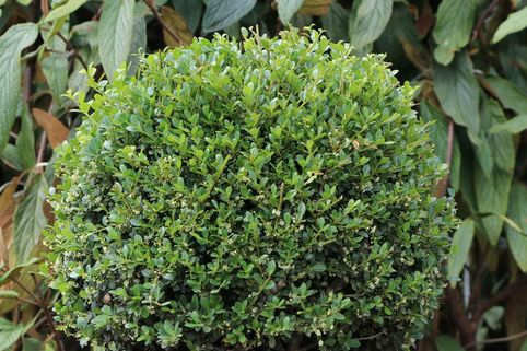 Japan-Stechpalme (Kugel) - Ilex crenata (Kugel)