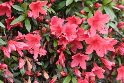 Japanische Azalee 'Alexander' - Rhododendron obtusum 'Alexander'