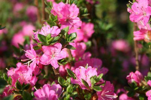 Japanische Azalee 'Betty Muir' - Rhododendron obtusum 'Betty Muir'