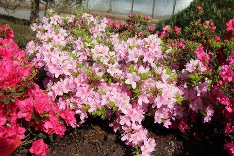 Japanische Azalee 'Blanice' - Rhododendron obtusum 'Blanice'