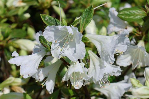 Japanische Azalee 'Bloom Champion' weiß - Rhododendron obtusum 'Bloom Champion' weiß