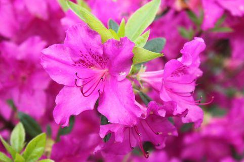 Japanische Azalee 'Blue Danube' - Rhododendron obtusum 'Blue Danube'