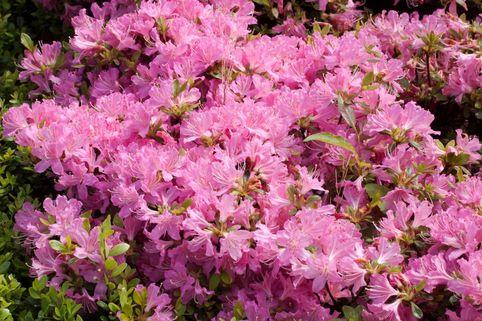 Japanische Azalee 'Diamant Rosa' ® - Rhododendron obtusum 'Diamant Rosa' ®