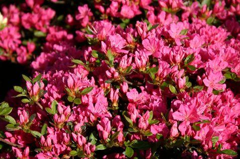 Japanische Azalee 'Diamant Rot' ® - Rhododendron obtusum 'Diamant Rot ®'