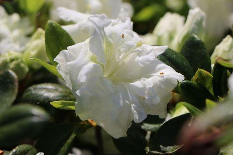 Japanische Azalee 'Eisprinzessin' ® - Rhododendron obtusum 'Eisprinzessin' ®