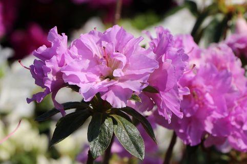 Japanische Azalee 'Elsie Lee' - Rhododendron obtusum 'Elsie Lee'