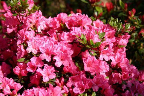 Japanische Azalee 'Falkenstein' - Rhododendron obtusum 'Falkenstein'