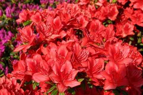 Japanische Azalee 'Fridoline' - Rhododendron obtusum 'Fridoline'