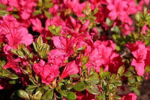 Japanische Azalee 'Gabriele' - Rhododendron obtusum 'Gabriele'